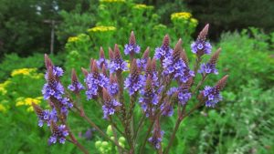 http://canadianecology.blogspot.com/2015/07/native-plants-for-pollinator-conscious_20.html